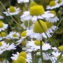 matricaria-chamomilla